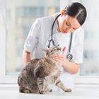 Лечение кошек, панлейкопения